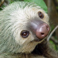 Sloth two toed head tortuguero