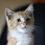 Cat 82072%28cheetohandcolorpointshorthair%29pixabayunclearorigin
