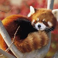 Graceful red panda is sitting on tree 550x412